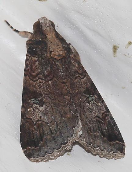Moth - Melipotis famelica