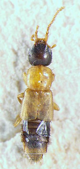staph 4 - Lithocharis tricolor