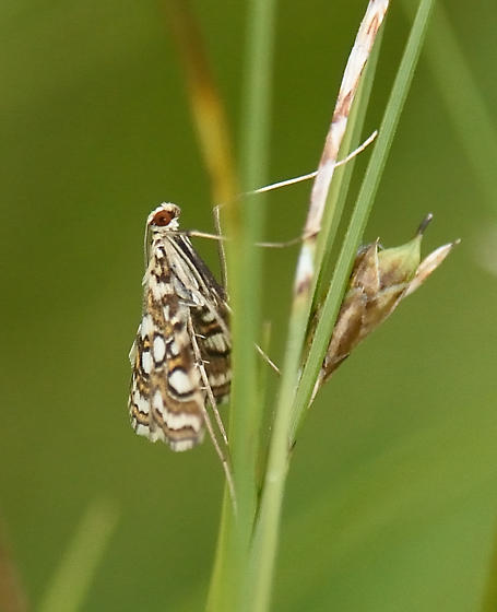Moth ID Request - Elophila ekthlipsis