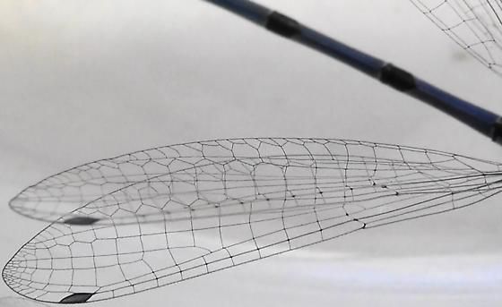 Damselfly Body Scan (both wings) - Enallagma civile - male