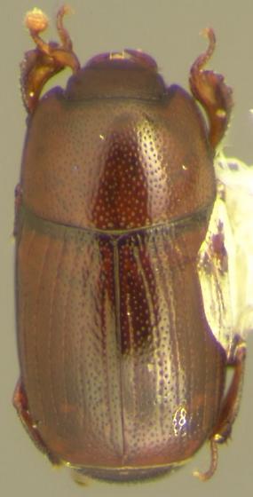 Carcinops tejonicus (Horn) - Carcinops tejonicus