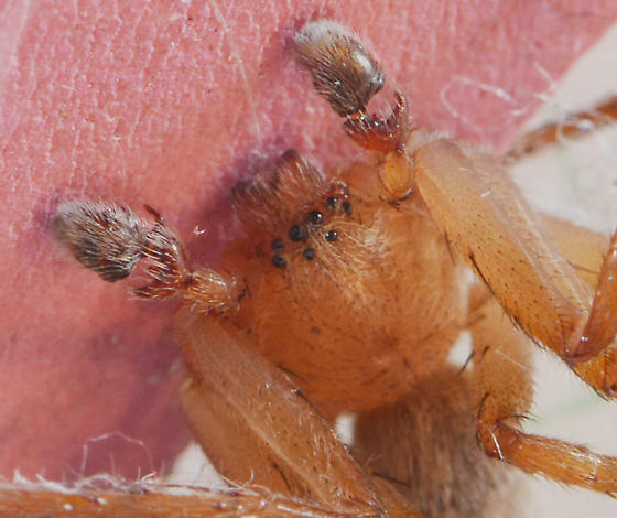 male spider - Decaphora cubana - male