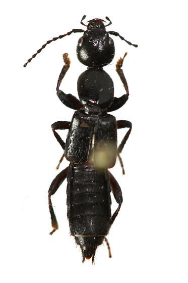Rove Beetle - Lobrathium grande