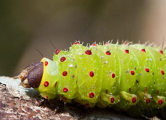 Green Caterpillar with red dots - Actias luna