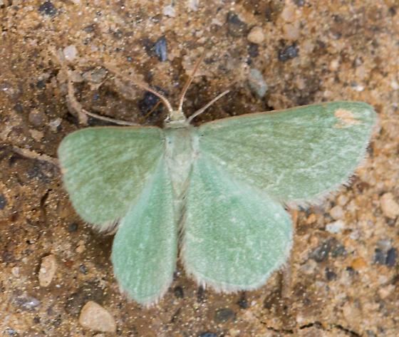 Moth - Mesothea incertata