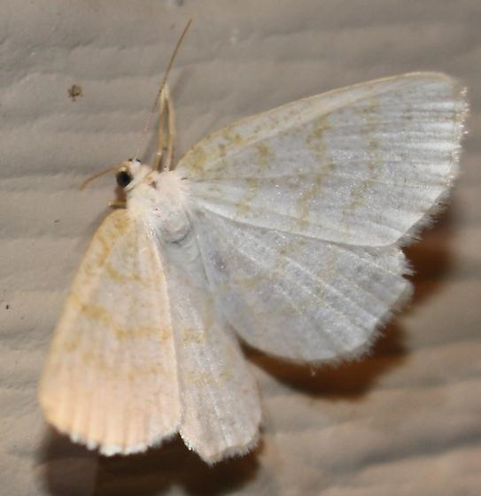 Yellow-dusted Cream - Hodges#6677 - Cabera erythemaria