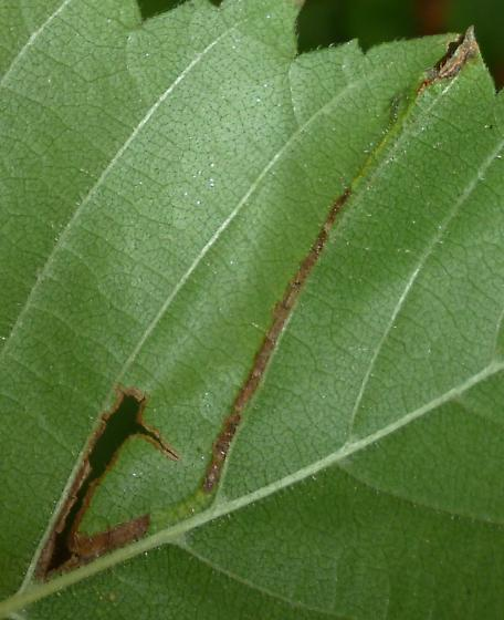 on Ulmus sp. - Agromyza aristata