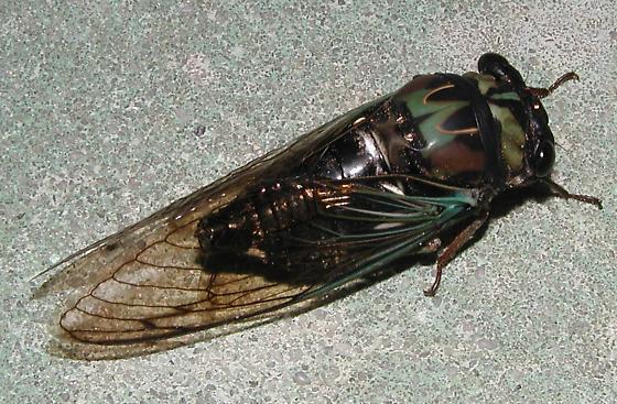 Cape Canaveral cicada1 - Neotibicen lyricen