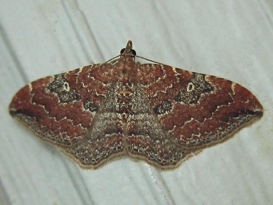 The Gem - Hodges #7414 (Orthonama obstipata) - Orthonama obstipata - female
