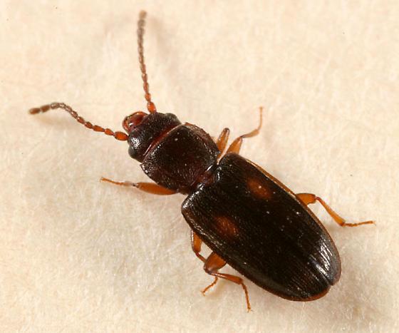 Lined Flat Bark Beetle - Laemophloeus biguttatus