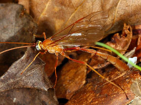 Ichneumonidae - Enicospilus