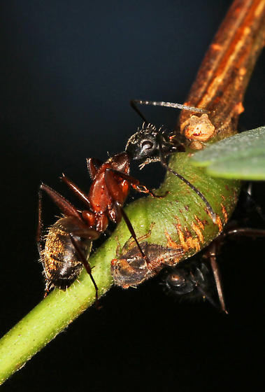 unknown Ant with Black Locust Treehopper - Camponotus chromaiodes