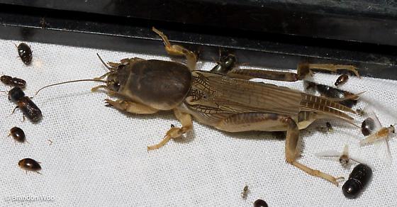 Neoscapteriscus borellii