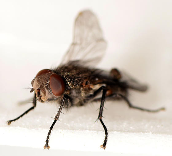 cluster fly - Pollenia vagabunda - male