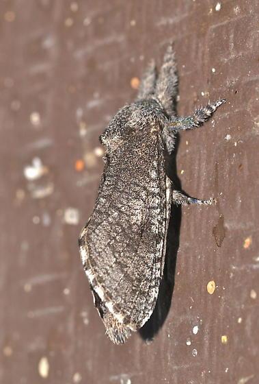 Moth - Givira mucida