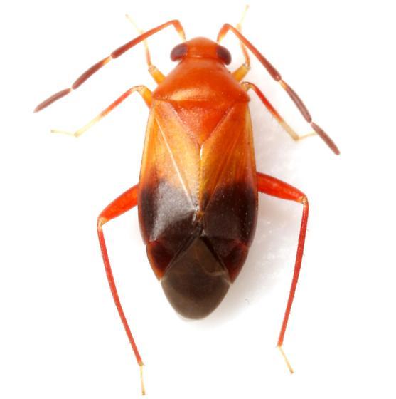 Ceratocapsus