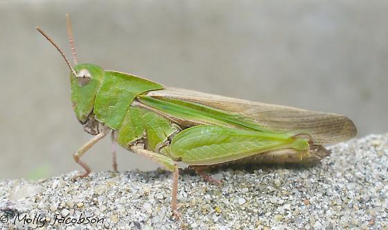 green-striped - Chortophaga viridifasciata - female