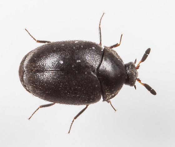 Beetle - Cryptorhopalum triste