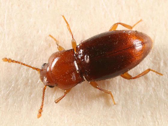 small orange beetle - Rhanidea unicolor