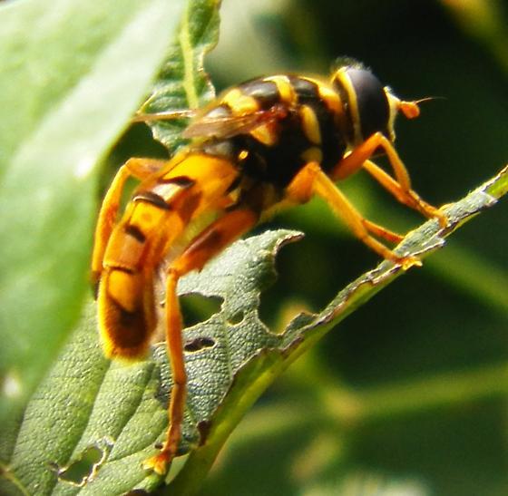 Flower Fly ? - Milesia virginiensis