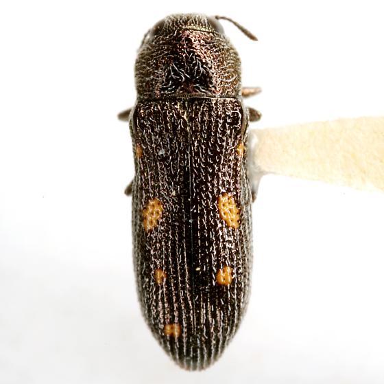 Acmaeoderopsis chisosensis (Knull) - Acmaeoderopsis chisosensis