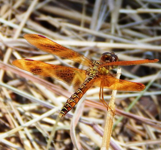 Amber Dragonfly - Perithemis tenera