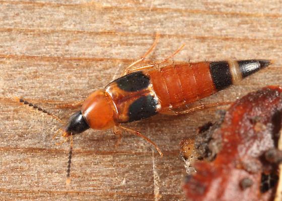 rove beetle - Lordithon cinctus
