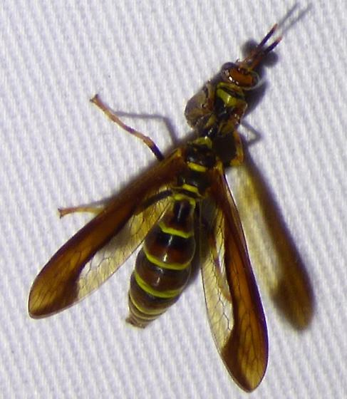 unknown insect - Climaciella brunnea