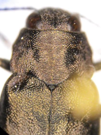 Buprestid - Phaenops lecontei