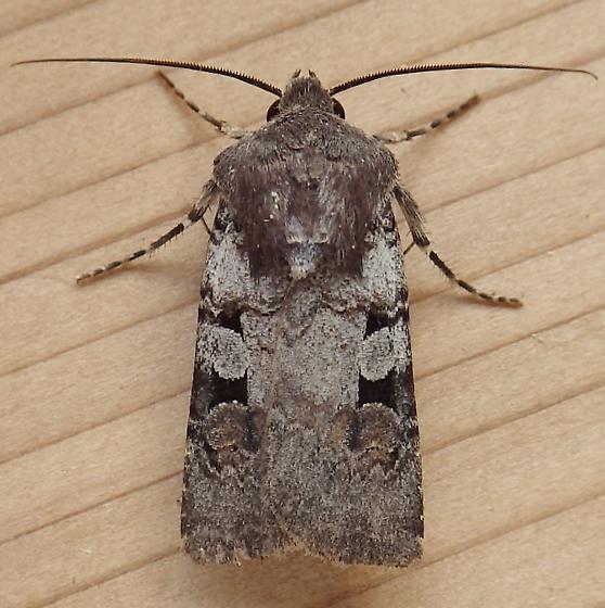 Noctuidae Euxoa albipennis - Euxoa albipennis