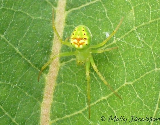 little green - Araneus cingulatus