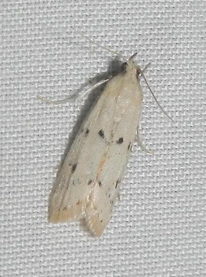 Unknown Moth - Sosipatra rileyella