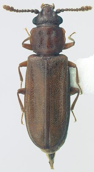 Pediacus subglaber (LeConte) - Pediacus subglaber