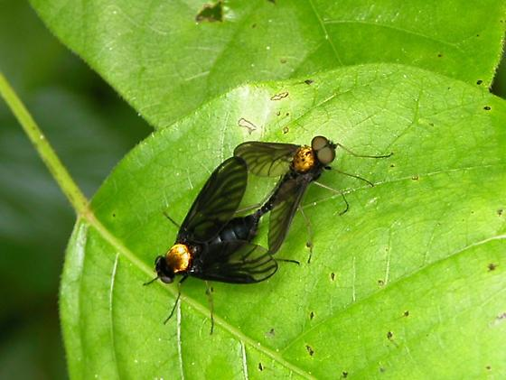 Long-legged flies with orange thorax - Chrysopilus thoracicus - male - female