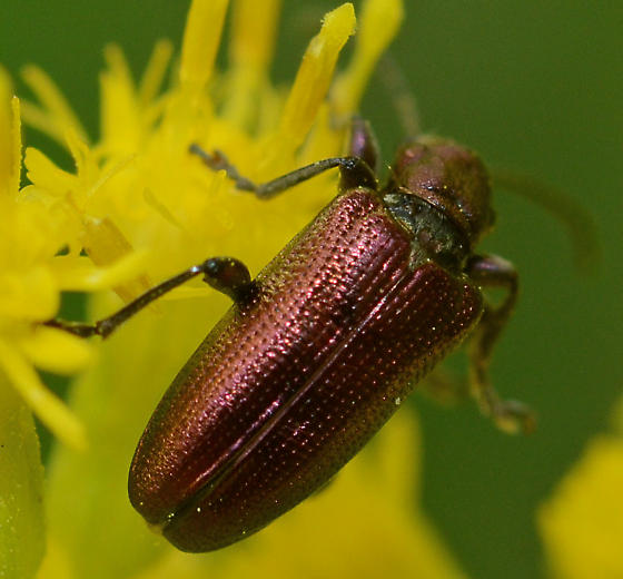 Metallic Beetle #1  - Plateumaris
