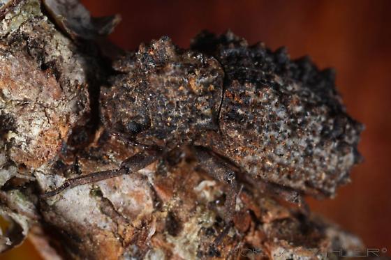 Horned Fungus Beetle, Bolitotherus cornutus - Bolitotherus cornutus - female