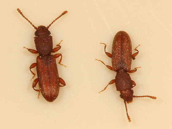 Flat bark beetles - Cathartosilvanus imbellis