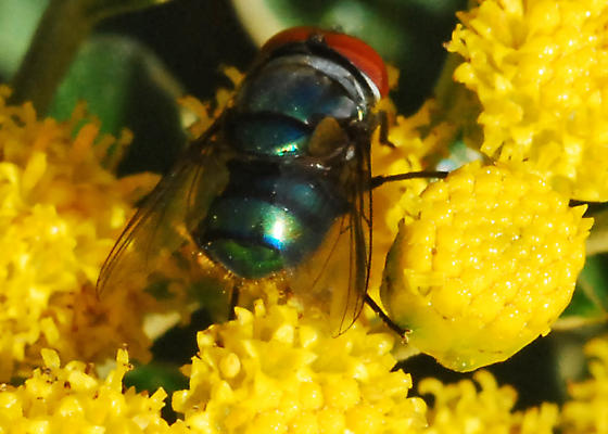 Hairy Maggot Blow Fly - Chrysomya megacephala - male