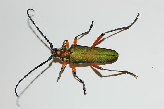 Plinthocoelium from Sapelo Island, GA - Plinthocoelium suaveolens - female