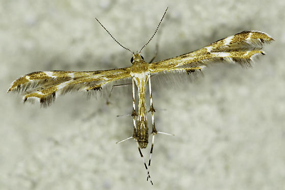 small plume moth