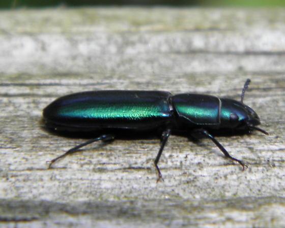 Bark-gnawing Beetle - Temnoscheila virescens