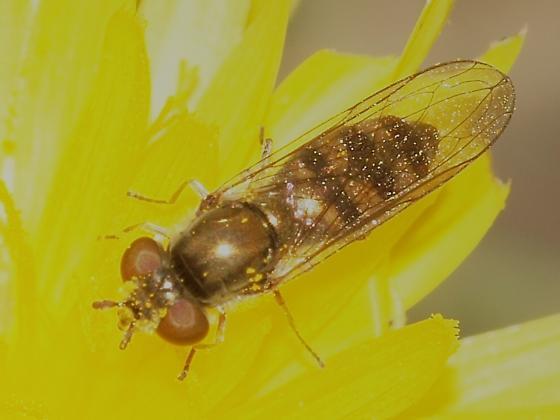 Syrphidae? 3 - Platycheirus