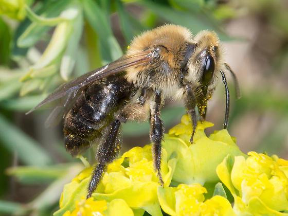 Andrena - Andrena vicina - female