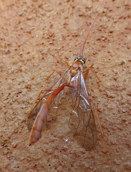 Ichneumon Wasp? - Enicospilus