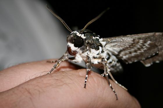 Sphinx Moth? - Manduca rustica