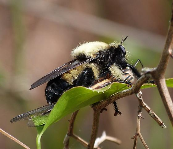 Bumble Bee Mimic Robber Fly - Laphria - female