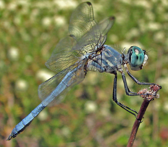 Little Blue Dragonfly - Pachydiplax longipennis - male