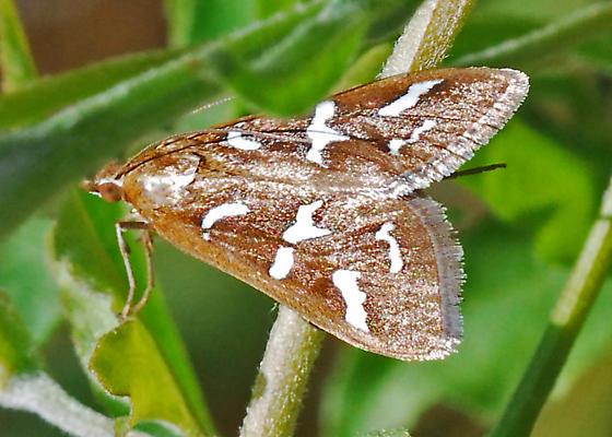 Day-flying moth - Diastictis fracturalis