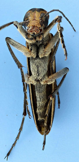 Epicauta vittata - Striped Blister Beetle - Epicauta vittata