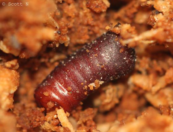 Ootheca - Parcoblatta virginica